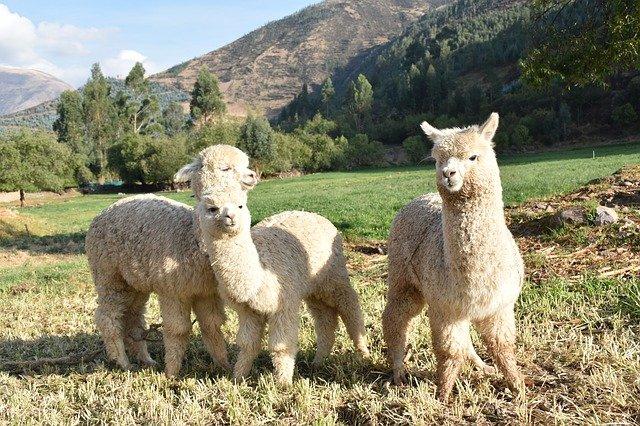 Alpake Komuniciraju Neverbalnim Znakovima I Zvukovima