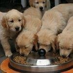 Hrana za uzgajivačnice pasa