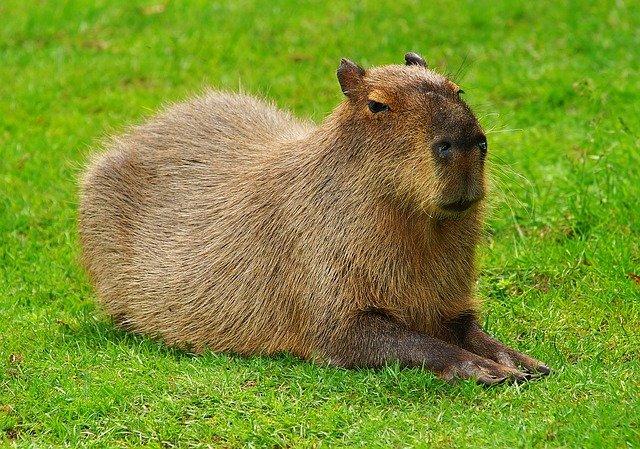 Kapibara ili vodenprase