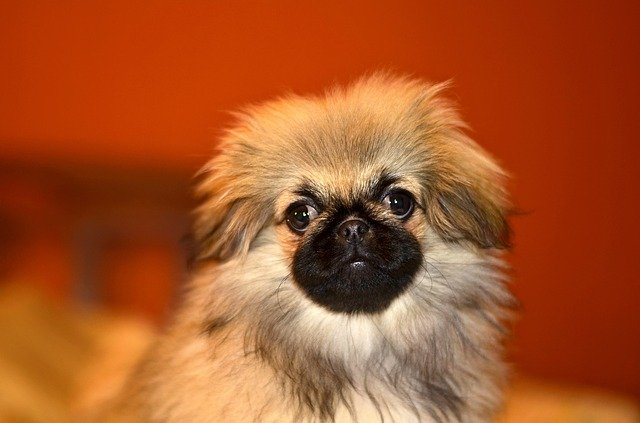 Slika štenaca Pekinezera