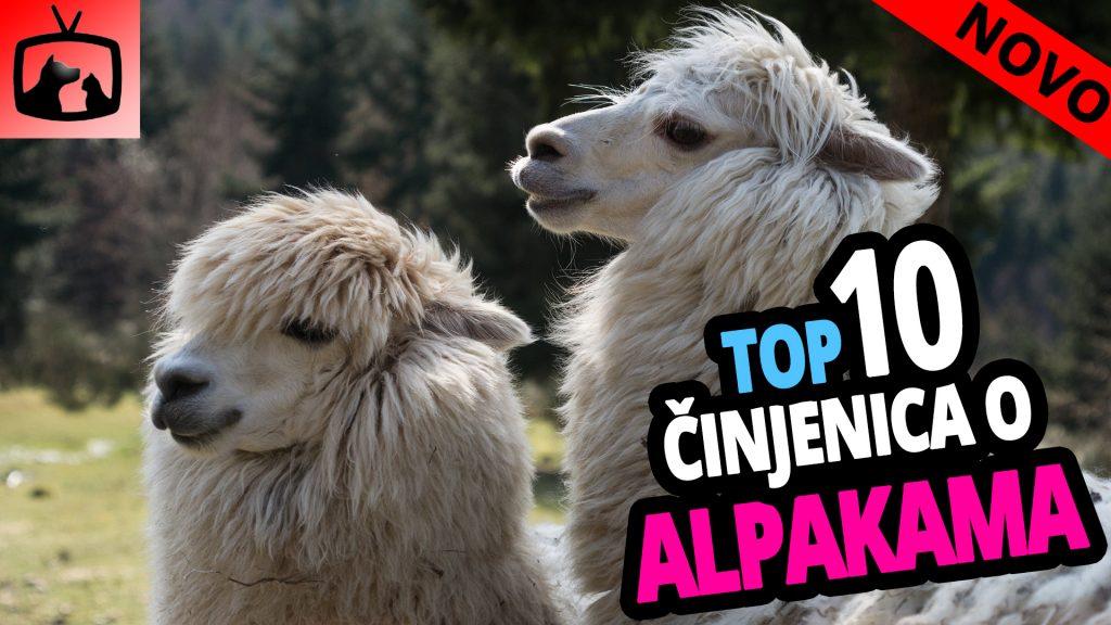 TOP 10 Činjenica o Alpakama