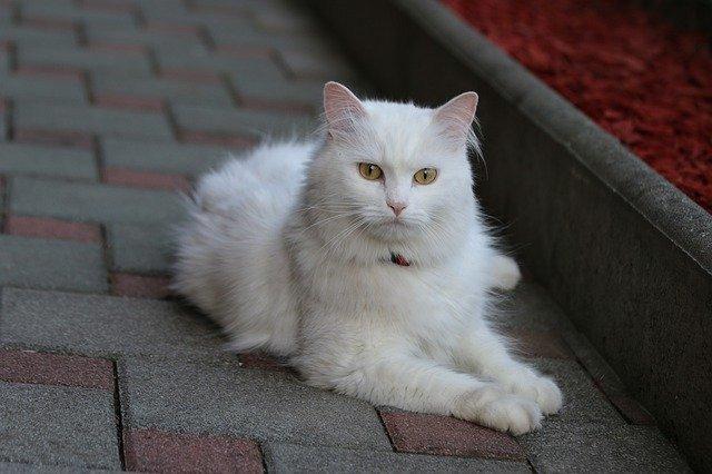 Turska Angora mačka