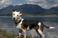 Jack Russell Terijer pas