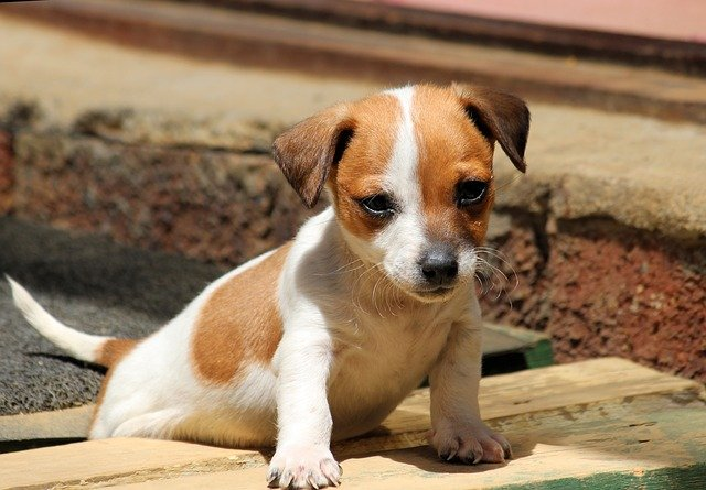 Slika štenaca Jack Russell Terijera