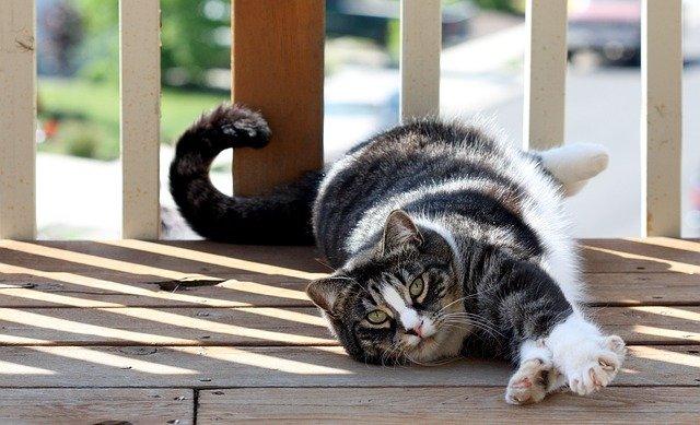 Američka kratkodlaka mačka