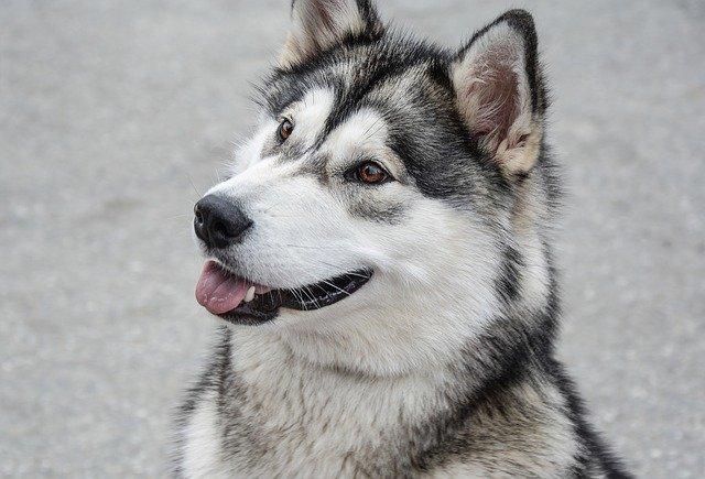 Kako se Aljaški malamut psi ponašaju prema djeci, strancima i drugim životinjama