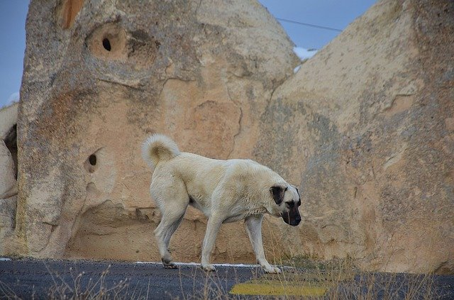 Kangal ili Anatolski pastirski pas