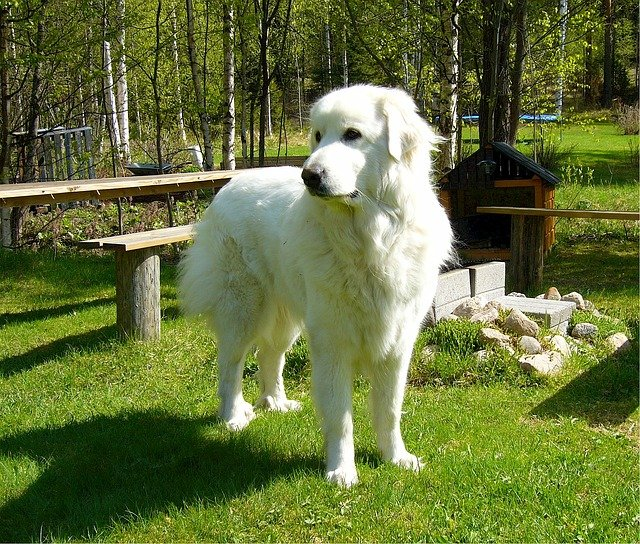 Pirinejski Planinski Pas ili Great Pyrenees