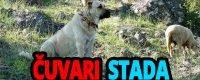 Psi čuvari stada - Kucni Ljubimci TV