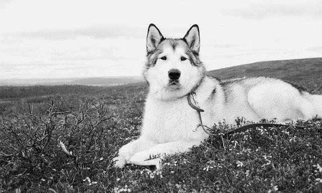 Slika starijeg Aljaškog malamuta