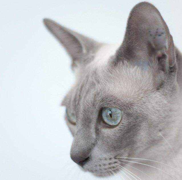 Tonkinška Mačka