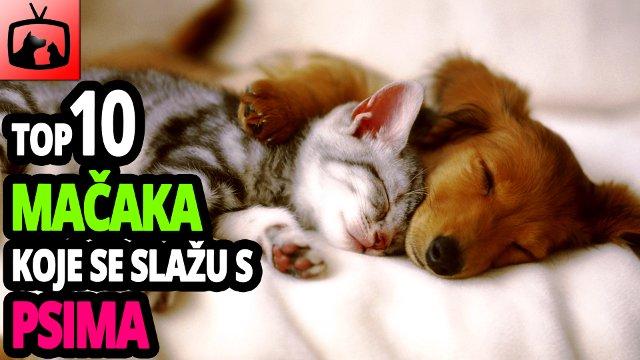 Top 10 pasmina mačaka koje se najbolje slažu sa psima