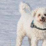 Kovrčavi Bišon pas - Kucni Ljubimci TV