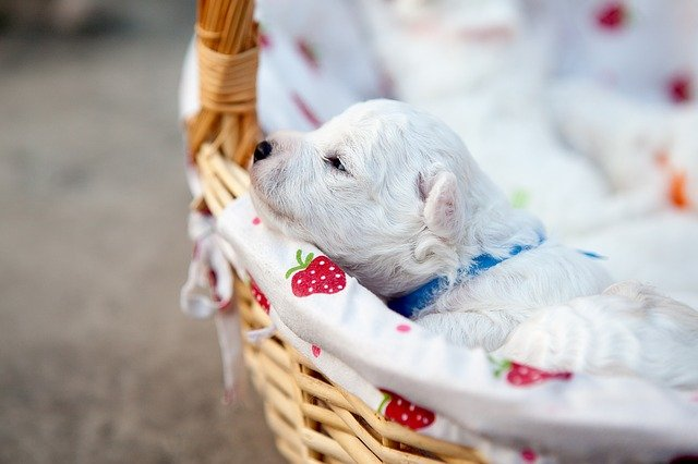 Slika štenaca Bišona