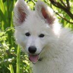 Švicarski ovčar pas - Kucni Ljubimci TV