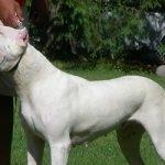 Dogo Argentino pas - Kucni Ljubimci TV
