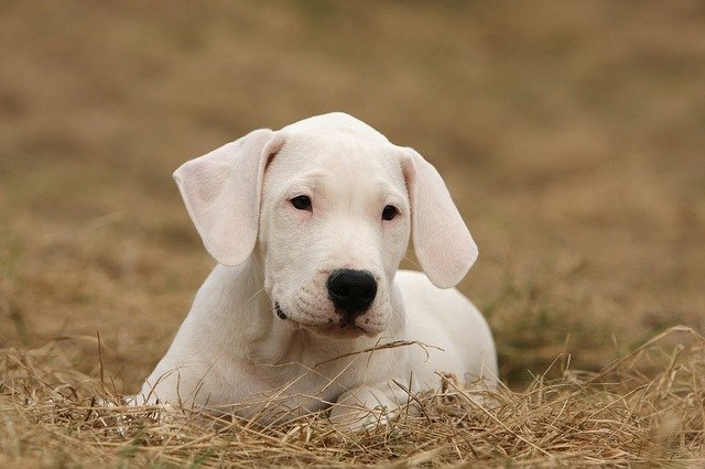 Dogo Argentino psi