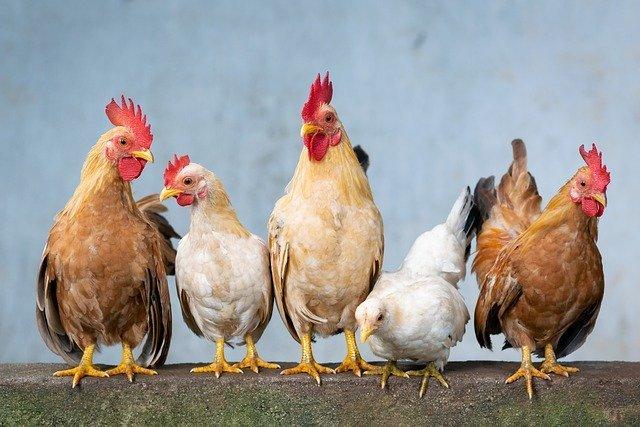 Domaće kokoši