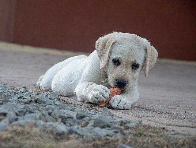 Pas jede hranu za ljude