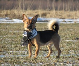 Što Vam Pas Pokušava Reći Položajem Repa