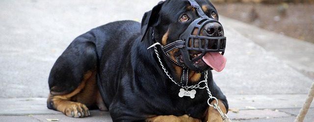 TOP 10 Najzabranjenijih Pasmina Pasa Na Svijetu