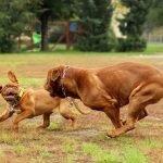 Top 10 zastrašujućih pasmina pasa