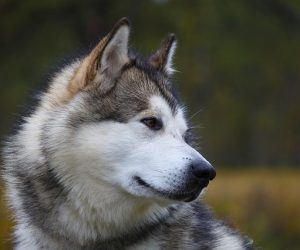Top 10 pasmina pasa koje se najviše linjaju