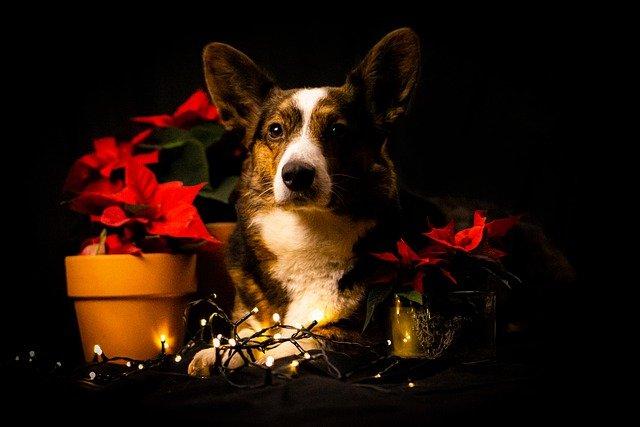 Božićna imena za pse