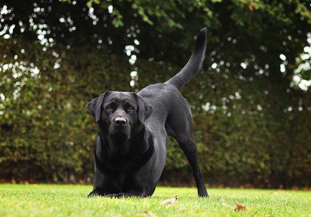 Crni Labrador Retriver