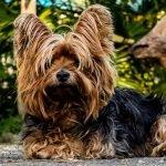 Jorkširski terijer pas