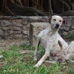 Top 6 najuočljivijih znakova da pas ima buhe