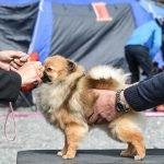 Top 10 pasmina pasa za izložbe pasa